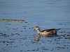 PYGMY-GOOSE COTTON_07