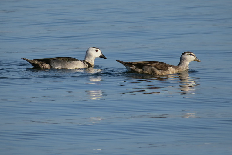 PYGMY-GOOSE COTTON_16