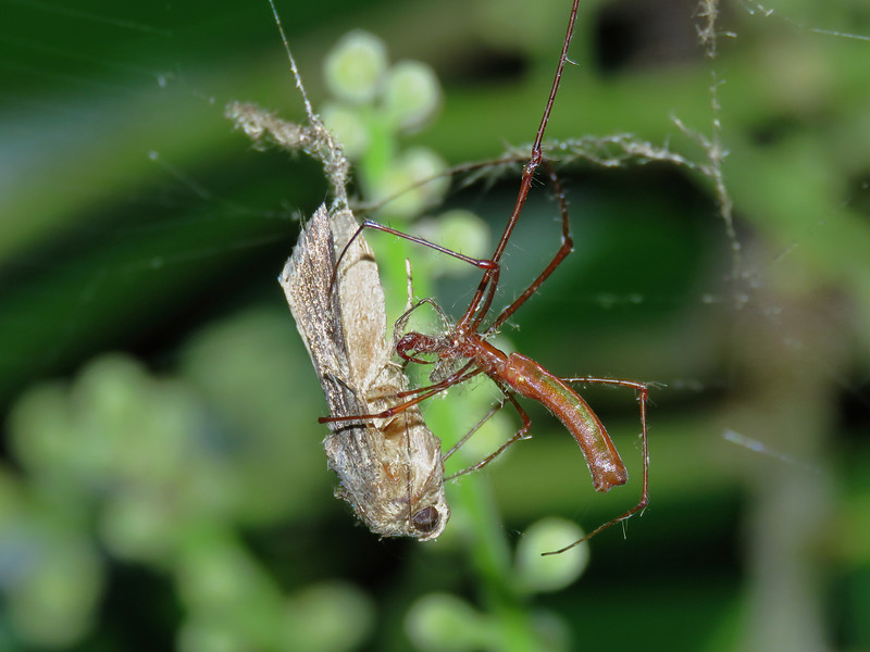 Long-jaw Spider_12