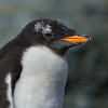 Gentoo Penguin Chick