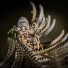 White Crinoid Shrimp
