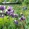 Tulips in bloom in the recently restored perennial garden at The Stevens-Coolidge Place.  <br /> Photo by Paul Bilodeau