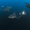 Cageless baited shark diving at Aliwal Shoal Dive site: Protea Banks