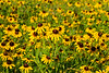 Field of Rudbeckia in Texas