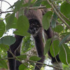 Spider Monkeys at Calakmul. This was an unexpected bonus.