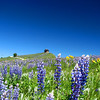 Fields of Lupine near Cement Ridge