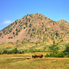 Buffalo in front of Bear Butte