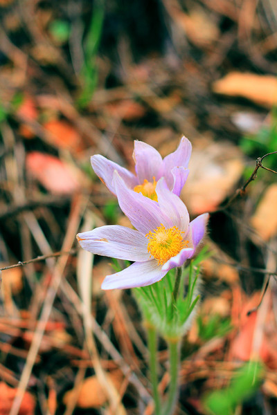 Pasque flower in Spearfish Canyon
