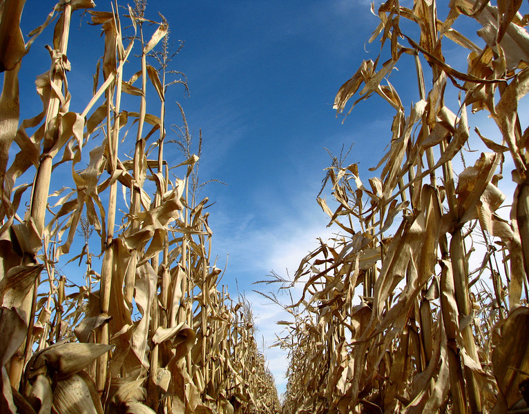 Corn fields near Redfield