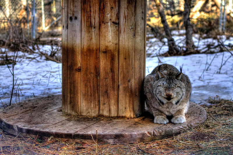 Lynx at the Spirit of the Hills Wildlife Sanctuary in Spearfish