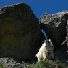 Mountain goat on Crazy Horse