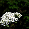 Yarrow in the Black Hills