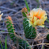 Cactus flower in Pierre