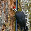 Pileated Woodpecker<br /> At Oak Tree