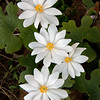 Bloodroot is a native wildlfower that grows in the woods. It is a true spring ephemeral dissappearing before the leaves on the trees appear.