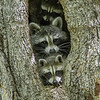 A family of Raccoons peek at the photographer.