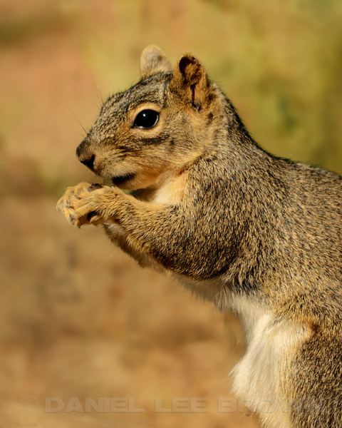 Eastern Fox Squirrel. Sacramento Co, CA, 4-14-14. Cropped image, background softened.