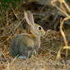 Cottontail Rabbit, Mather Regional Park, Sacramento County, CA, 8-14-2014. Cropped image.