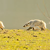American Badger, Sonoma County, CA, 1-20-14. Cropped image. This is a 3 image photomerge, produced with image editing software.