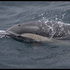 captured EYE of the Common Dolphin for the first time, Whale Watching trip, San Diego County, California, June 2013