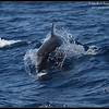 Pacific Bottlenose Dolphin, Whale Watching trip, San Diego County, California, November 2012