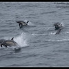 Common Dolphin pod, Whale Watching trip, San Diego County, California, June 2013