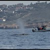 It was a nice surprise for that boat when Gray whale surfaced so close, Whale Watching trip, San Diego County, California, January 2015