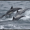 Synchronous swimming, Common Dolphin pod, Whale Watching trip, San Diego County, California, June 2013