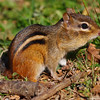 Just a chipmunk