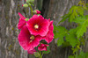 Hollyhock flowers adorn the yard of a home in Morden, Manitoba, Canada.