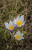 The prairie crocus, Anemone patens at the Living Prairie Museum in Winnipeg, Manitoba, Canada.