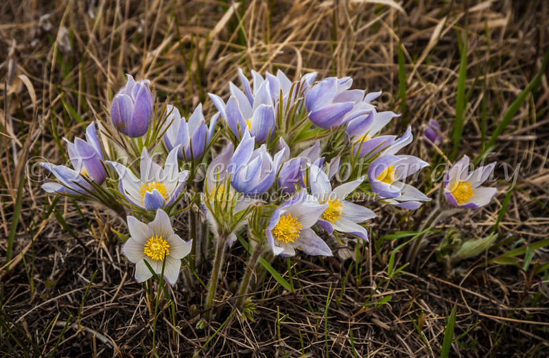 A cluster of prairie crocus, Anemone patens in the Living Prairie Museum, Winnipeg, Manitoba, Canada.