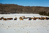 Cattle on a snow covered pasture near Morden, Manitoba, Canada.