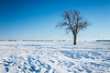 A lone tree on a snow covered field on the prairies near Myrtle, Manitoba, Canada.