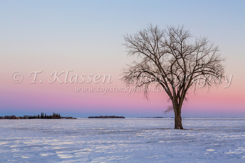 A lone tree after sunset on a snow covered field in winter near Myrtle, Manitoba, Canada.