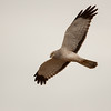 northern harrier delta bc