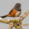 spotted towhee victoria bc