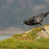 common raven crescent city california