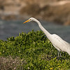 great egret pacific grove california