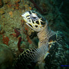 Beautiful Hawksbill turtle on the reef.<br /> Crush?