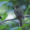 Acadian Flycatcher. Merkle Wildlife Sanctuary, 7-5-2014