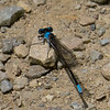 Azure Bluet damselfly (?), mile 30