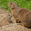 Prairie Dog Mother and Pup.