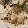 Three Prairie Dog Pups