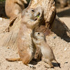 Black-tailed Prairie Dogs.