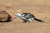 Yellow-billed_Hornbill_Mashatu_Botswana0005