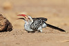 Yellow-billed_Hornbill_Mashatu_Botswana0006