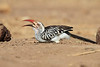 Yellow-billed_Hornbill_Mashatu_Botswana0004
