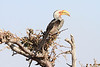 Yellow-billed_Hornbill_Mashatu_Botswana0007