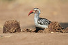 Yellow-billed_Hornbill_Mashatu_Botswana0001